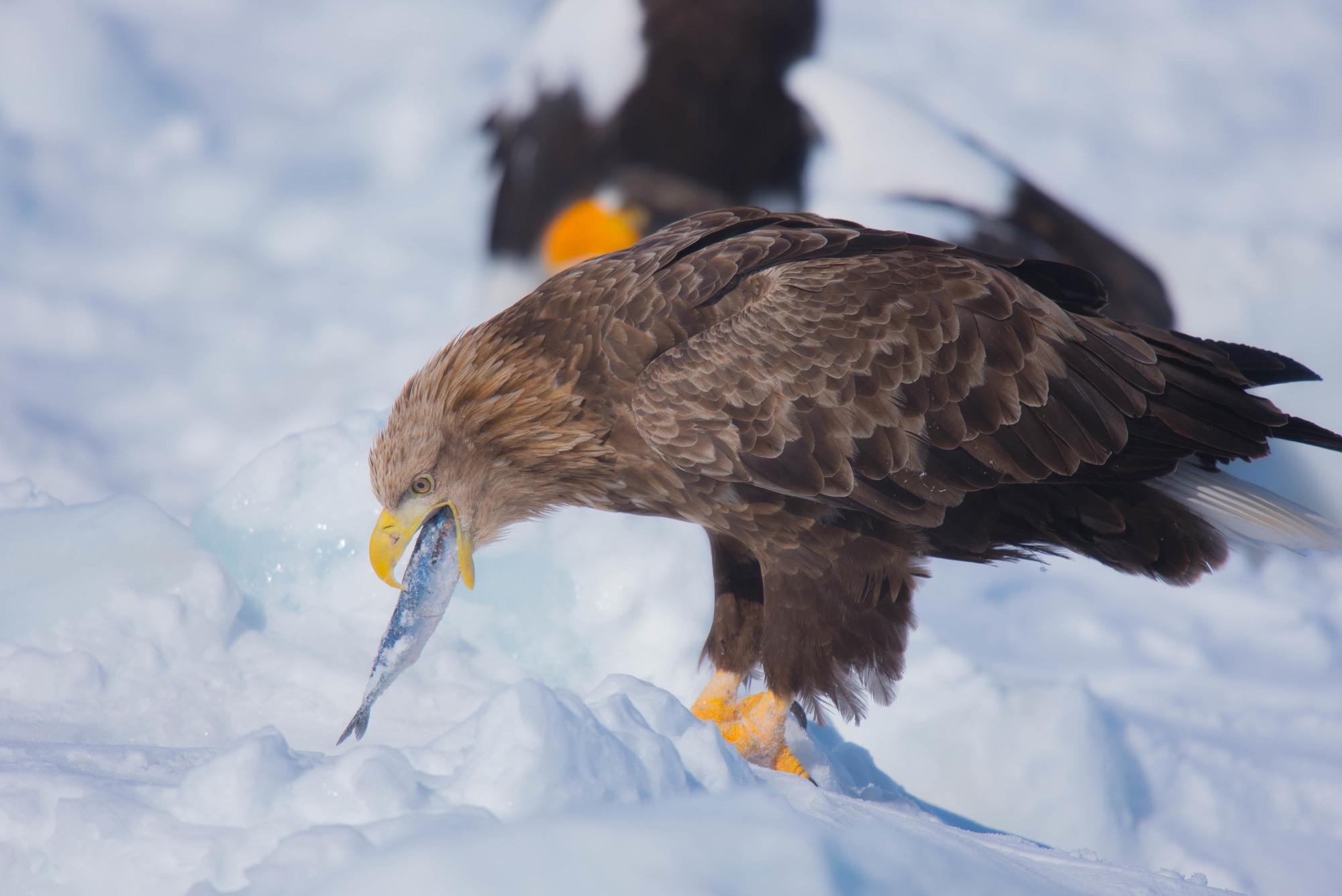 流氷 冬 ワシ 捕食